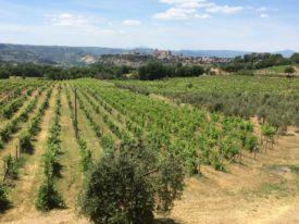 Orvieto vigneto - Orvieto vineyards